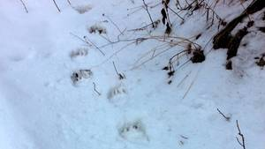 Spuren eines Braunbären im Schnee