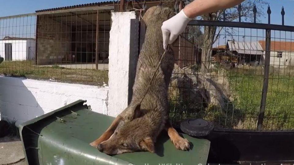 Aufgespießte Wölfin in Griechenland