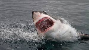 Ein wütender Hai reißt sein Maul auf und zeigt seine Zähne