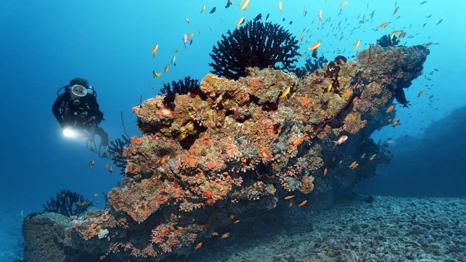 Schwarze Koralle  Ein richtiger Methusalem der Tierwelt ist die Schwarze Koralle. Sie gehört zur Familie der Leiopathes. Forscher datierten das Alter einer lebenden Koralle vor Hawaii auf 4265 Jahre – die höchste Lebenserwartung aller skelettbildenden Meereslebewesen. Damit wäre dieses Exemplar auch noch um einiges älter als die biblische Figur Methusalem mit seinen 969 Jahren. Das Gewebe der Koralle besteht aus proteinreichen, hornartigem Gewebe. Die Schwarze Koralle wächst sehr langsam, was laut Forschungsergebnissen auch der Schlüssel zu ihrem hohen Alter sein soll.