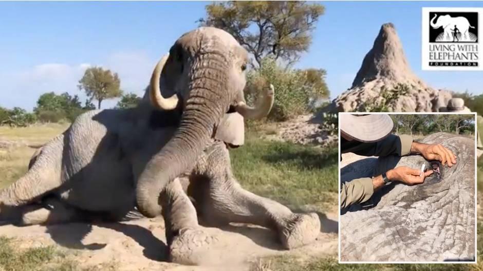Elefant legt sich voller Vertrauen vor Pfleger – für eine besondere Behandlung