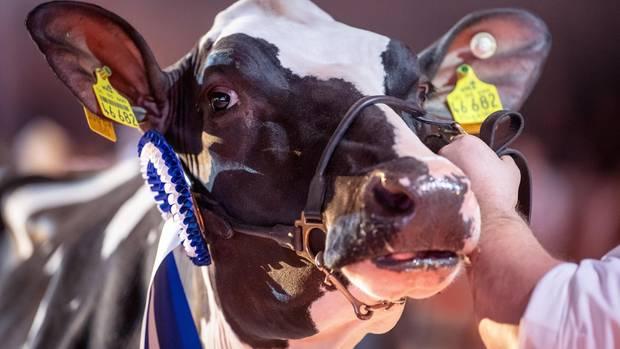Schönheitswettbewerb für Kühe in Verden