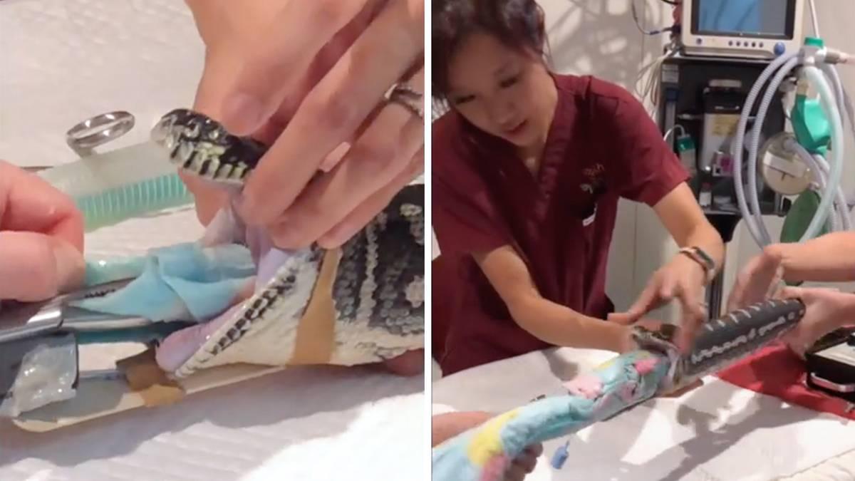 Tierärzte ziehen ein ganzes Handtuch aus Python