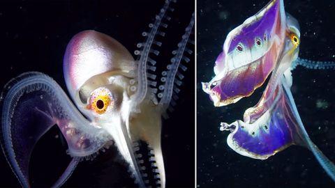 """Indonesien: Faszinierend-schönes Meereswesen – hier """"tanzt"""" ein seltener Löcherkrake"""