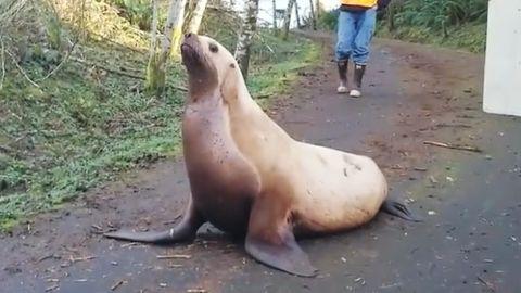 Ein Seelöwe verirrt sich im US-Bundesstaat Washington im Wald.