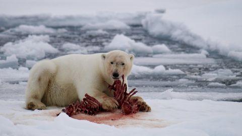 Normalerweise ernähren sich die Eisbären von Robben.