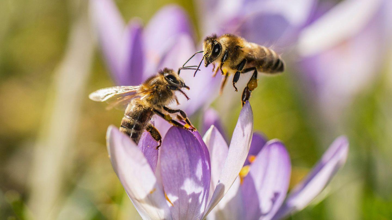 Zwei Bienen versuchen auf einer Wieseeinen Platz in einer Krokusblüte zu finden.