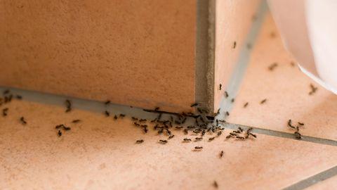 Was hilft gegen Ameisen? Diese Tipps können das Ungeziefer wirksam beseitigen
