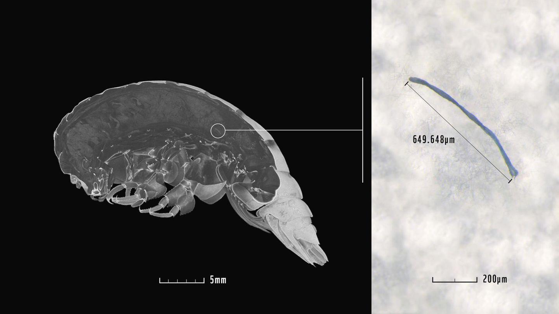 Eurythenes plasticus im Scan, wobei die Stelle, an der sich ein Stück Mikroplastik befindet, markiert ist