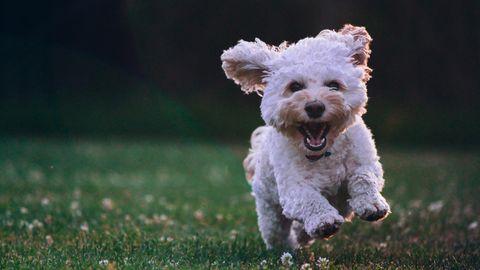 Ein kleiner Hund rennt über eine Wiese