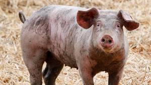 Ein Ruhrtaler Freilandschwein