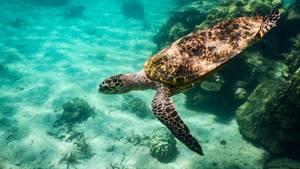 Eine unechte Karettschildkröte in freier Wildbahn.