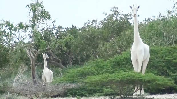 Seltene weiße Giraffe und ihr Kalb in Kenia