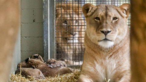 Löwenmutter und Vater im Gehege mit ihrem Nachwuchs