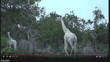 Kenia: Seltene weiße Giraffen getötet