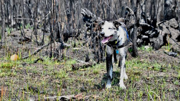 Ein Koalaspürhund steht vor den verkohlten Überresten eines Waldes