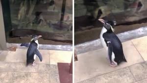 """Pinguin """"Wellington"""" erkundet das Shedd Aquarium in Chicago."""