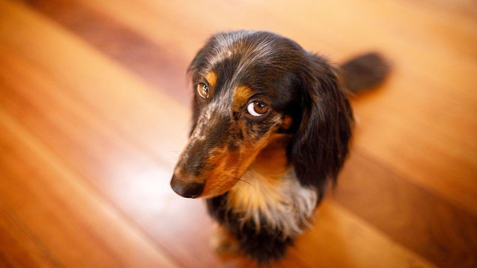 Ein Hund guckt schuldig in die Kamera