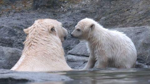Zoo Hannover: Eine junge Eisbärin erkundet das Gehege