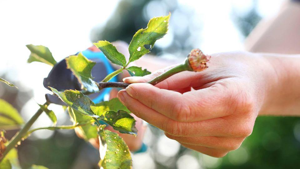Frau schneidet mit einer Rosenschere einen verblassten Stengel ab