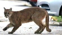 Coronaviruskrise: Wildtiere durchstreifen die leeren Straßen der Städte