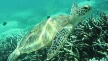 Naturwunder Great Barrier Reef: Korallen erneut in Gefahr
