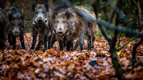 Jagd: Die Wildschweine von nebenan – wie sich Wildtiere in Deutschlands Städten breit machen