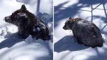 Der Grizzlybär Boo erwacht aus seinem Winterschlaf in Kanada.