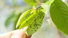 Blattläuse haben es auf junge Triebe abgesehen
