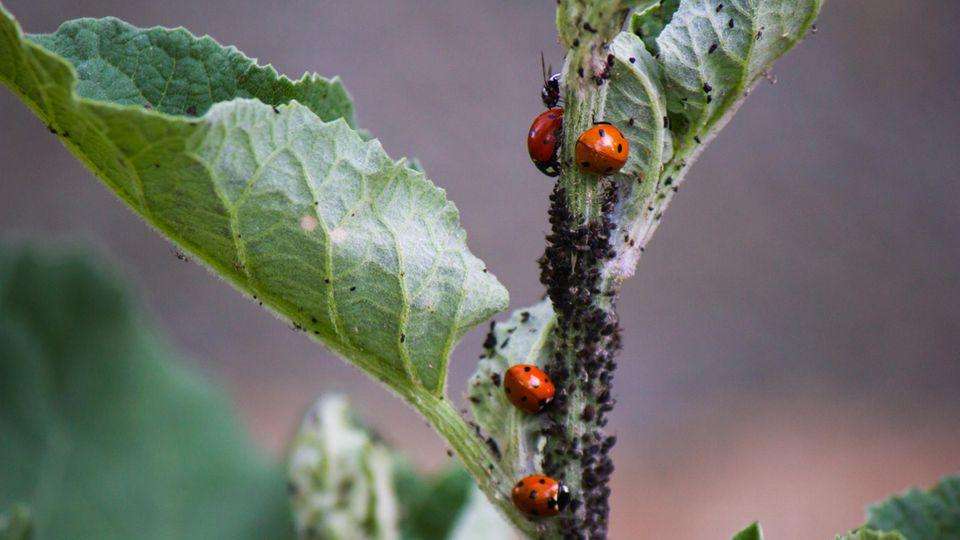 Marienkäfer sind natürliche Fressfeinde der Läuse