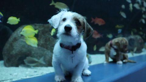 Die Terriermischlinge Carmel und Odie tapsen vor den Becken des Georgia Aquarium in Atlanta.