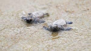 Echte Karettschildkröten
