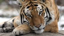 Ein Tiger im New Yorker Bronx Zoo. Hier hat sich ein Tiger-Weibchen mit dem Coronavirus angesteckt.