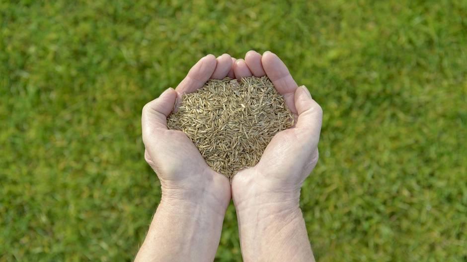 Zwei Hände voll mit Rasensamen