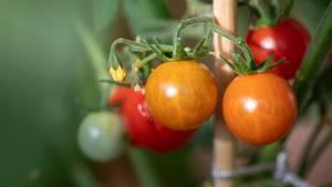 Tomaten pflanzen: Blütenstand mit einigen reifen und fast reifen Früchten