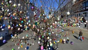 Saalfeld, Deutschland.In der Fußgängerzone der Altstadt steht dieser mit rund 1000 Eiern geschmückte Ostereierbaum. Begründet wurde die Tradition von einer Saalfelder Familie, die seit den 1950er-Jahren zu Ostern für ihre Kinder einen Apfelbaum im Vorgarten mit immer mehr selbst verzierten Eiern schmückte. Seit einigen Jahren wird die Robinie in der Fußgängerzone geschmückt. Zu Spitzenzeiten hingen mehr als 10.000 Eier an dem Baum.