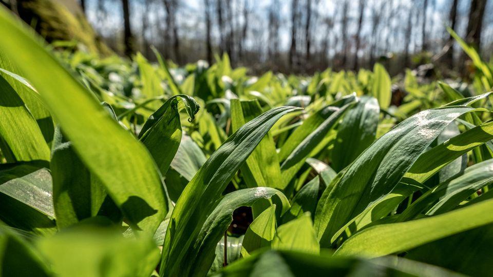 Bärlauch ernten: Frische Bärlauchpflanzen in einem sonnigen Laubwald