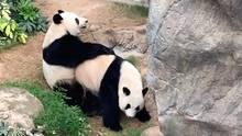 Hongkong: Riesenpandas Ying Ying und Le Le haben Sex zum ersten Mal seit zehn Jahren.