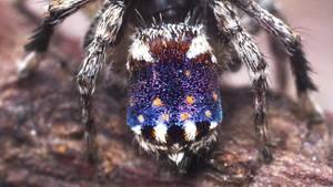 """Mit ihren Farben erinnert die Spinnen Maratus Constellatus an Vincent van Goghs Gemälde """"Sternennacht"""":"""