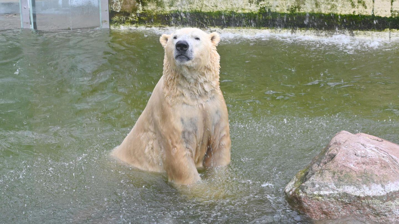 Eisbär Vitus, Deutschland größter Eisbär und Vater von Berlins Eisbären Knut, schwimmt in seinem Becken in Neumünster