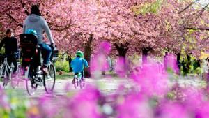 In Deutschland blühen bereits die Kirschbäume.