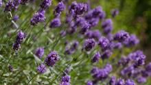 Lavendel pflanzen und pflegen: Violett blühender Lavendel auf einer Wiese