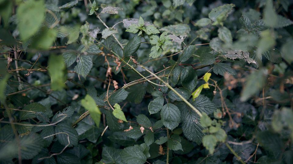 Rubus fruticosus, Urtica dioica und Hedera helix