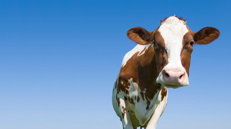 Eine Kuh, von unten gegen den blauen Himmel fotografiert