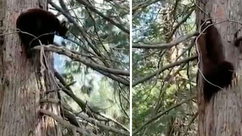 """Wegen Corona – Bären im Yosemite Nationalpark """"feiern eine Party"""""""