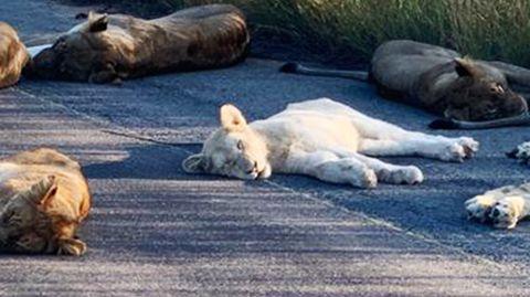 Kruger-Nationalpark: Weiße Löwen lassen sich im Lockdown blicken