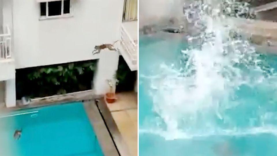 Affenspaß im Pool: Primaten nutzen Lockdown für sehr menschliches Badevergnügen