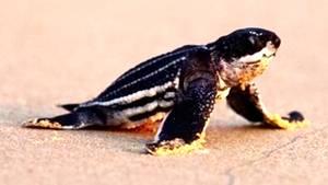 Schildkröten-Baby