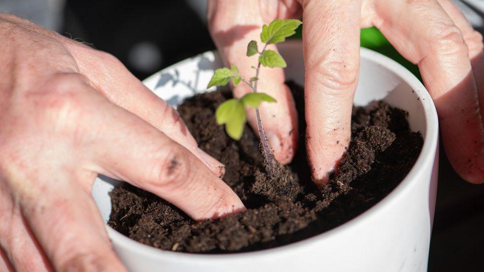 Tomate pikieren: Mit vier Fingern drückt ein Mann die Erde um ein junges Tomatenpflänzchen an