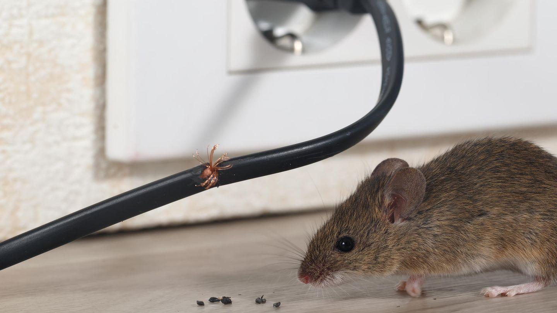 Mäuse knabbern gerne Kabel an